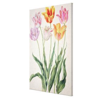 Tulips, from the 'Nassau Florilegium' (w/c on pape Canvas Print