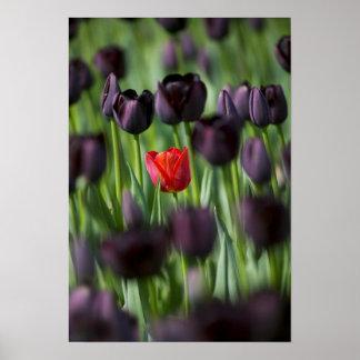 Tulips in Keukenhof Gardens, Amsterdam, Poster