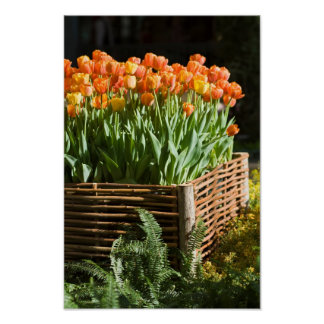 Tulips in Raised Garden Bed Poster