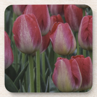 Tulips in the Spring Drink Coaster