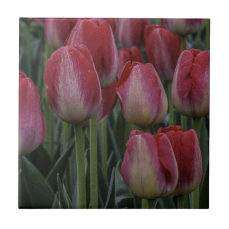 Tulips in the Spring Tile
