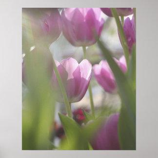 Tulips, Keukenhoff Gardens, Netherlands. Poster