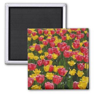 Tulips Square Magnet