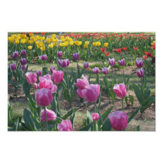 Tulips Photo Poster
