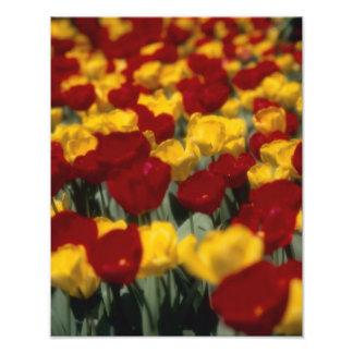 Tulips Photo Print