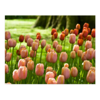 Tulips Postcard | Tulpen Postkarte