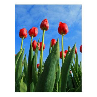 Tulips red flowers beautiful photo postcard