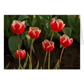 Tulips, Tulip Festival, Woodburn, Oregon, USA 1 Card