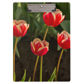 Tulips, Tulip Festival, Woodburn, Oregon, USA 1 Clipboard