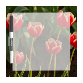 Tulips, Tulip Festival, Woodburn, Oregon, USA 1 Dry Erase Board
