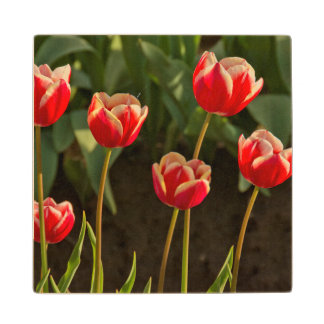 Tulips, Tulip Festival, Woodburn, Oregon, USA 1 Wood Coaster