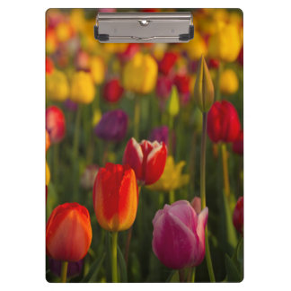 Tulips, Tulip Festival, Woodburn, Oregon, USA 2 Clipboard