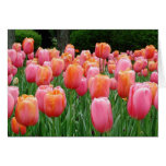 Tulips, tulips, tulips greeting cards