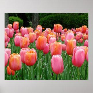 Tulips, tulips, tulips posters