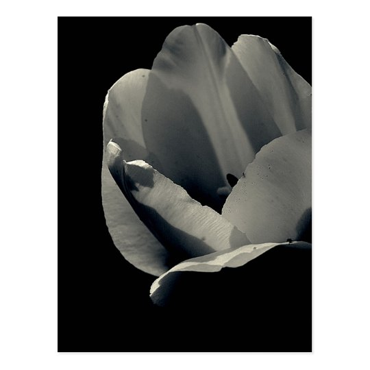 Tulp in Black and White Postcard