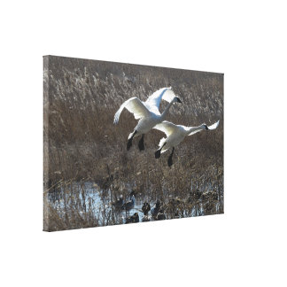 Tundra Swan Birds Wildlife Animals Canvas Prints