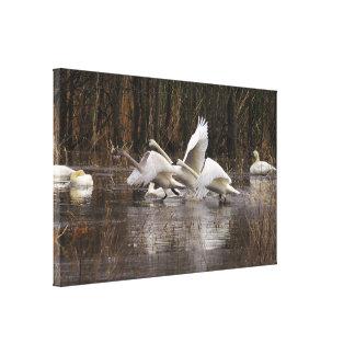 Tundra Swan Birds Wildlife Animals Gallery Wrapped Canvas