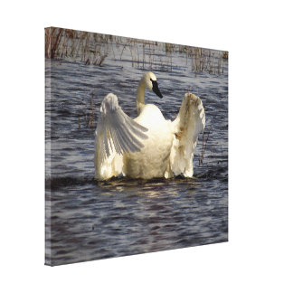 Tundra Swan Birds Wildlife Animals Stretched Canvas Print