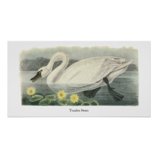 Tundra Swan John Audubon Poster