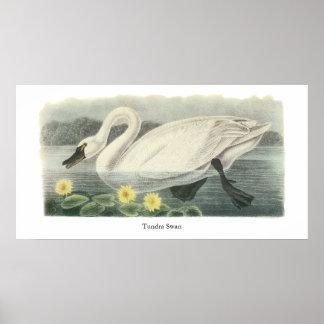 Tundra Swan, John Audubon Print