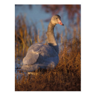 Tundra Swan or Whistling swan nesting, 1002 Postcard