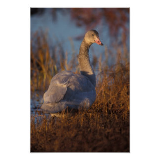 Tundra Swan or Whistling swan nesting 1002 Poster