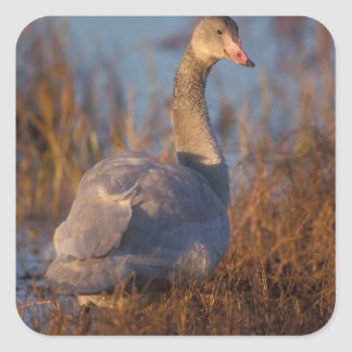 Tundra Swan or Whistling swan nesting, 1002 Square Sticker