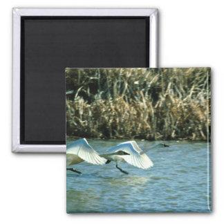 Tundra Swans Fridge Magnets
