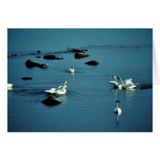 Tundra Swans on Water Greeting Card