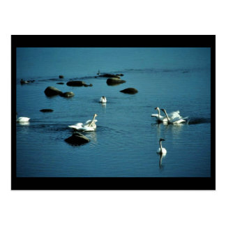 Tundra Swans on Water Postcard