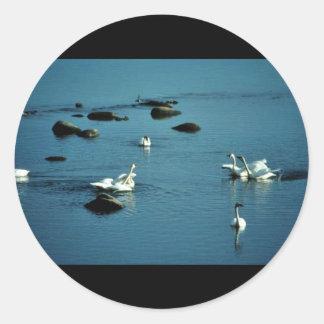 Tundra Swans on Water Round Sticker