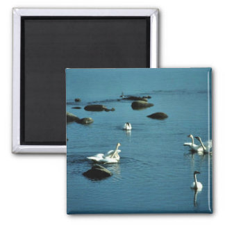 Tundra Swans on Water Square Magnet