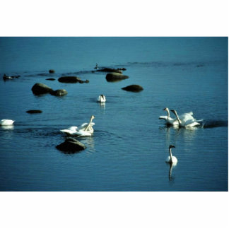 Tundra Swans on Water Standing Photo Sculpture