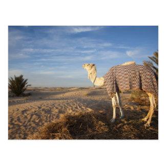 Tunisia, Sahara Desert, Douz, Great Dune, camel, Postcard