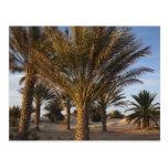 Tunisia, Sahara Desert, Douz, Great Dune, palm Postcards
