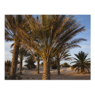 Tunisia, Sahara Desert, Douz, Great Dune, palm Postcard
