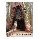 Tunnel Tree- Yosemite Postcard