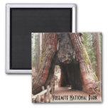 Tunnel Tree- Yosemite Square Magnet