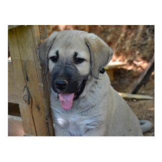 Turkish Shepherd Kangal Puppy Post Cards
