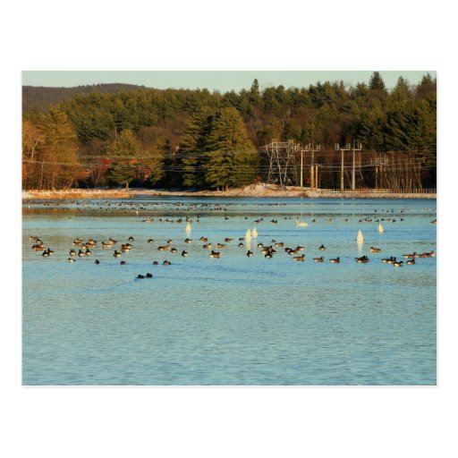 Turners Falls Canal Waterfowl Post Cards