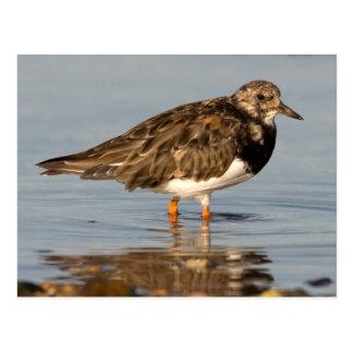 Turnstone Bird Postcard