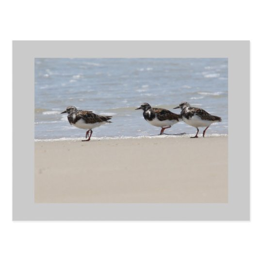 Turnstones Postcard