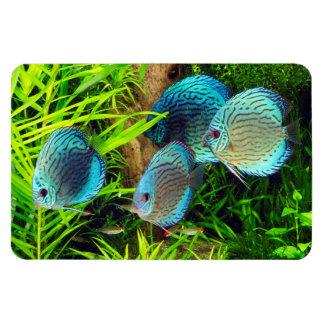Turquoise Blue Discus