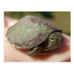 Turtle Hatchling Postcard