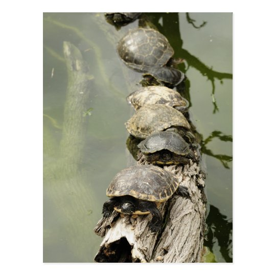 Turtles Postcard