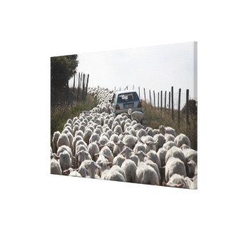 tuscany farmland road, car blocked by herd of canvas print
