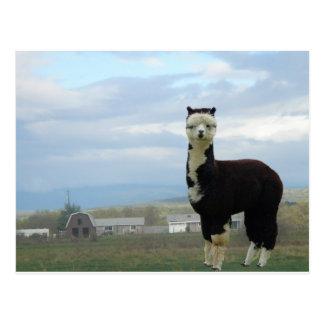 Tuxedo Alpaca Postcard