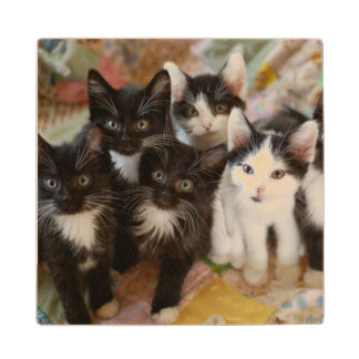 Tuxedo Kitten Group Wood Coaster