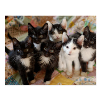 Tuxedo Kittens Postcard