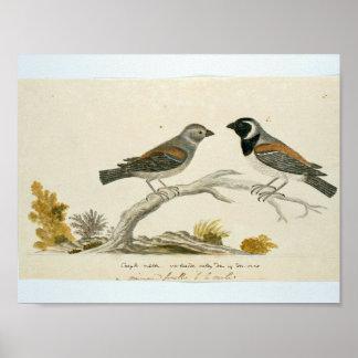 Twee Kaapse spreeuwen (Passer melanurus), Robert J Poster